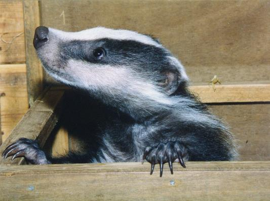 Profile pic for user badgertastic